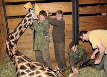Žirafa Lerbie při stříhání paznehtů